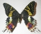 buy dead sunset moth Urania ripheus