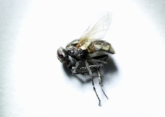 stable fly buy dead muscidae diptera