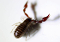 buy dead bark scorpion Centruroides