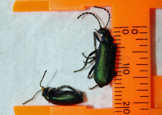 Blister beetle buy metallic dead dried