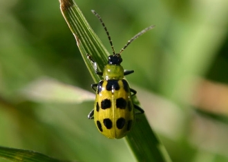 buy dead spotted cucumber beetle