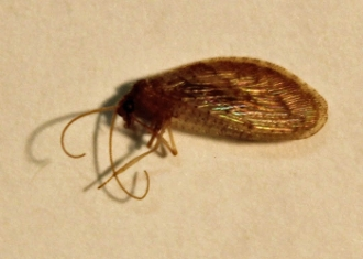 buy dead brown lacewing neuroptera