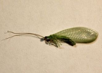 buy dead green lacewing