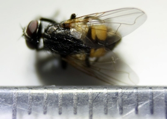 house fly buy dead muscidae diptera