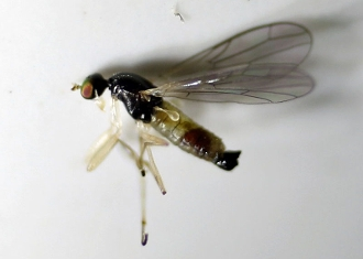 Dance Fly buy dead Embidae dried Hemerodromiinae