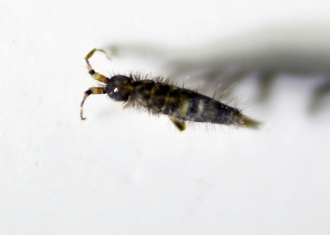 springtail buy dead collembola