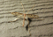 buy dead Pediciid Crane Fly