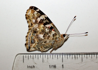 Buy Painted Lady Butterfly Dried Vanessa cardui dead